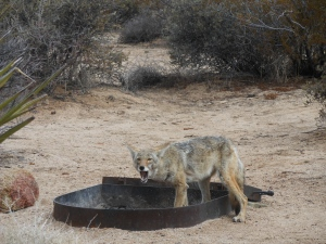 Not so coy coyote